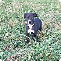 Adopt A Pet :: Pink - Russellville, KY