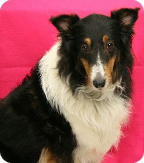 Collie/Sheltie, Shetland Sheepdog Mix Dog for adoption in Mission, Kansas - Jessie