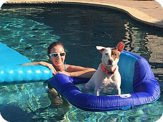 Portland, OR - Pointer/American Staffordshire Terrier Mix. Meet Freya ...