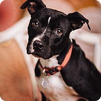 Adopt A Pet :: Lala - Portland, OR