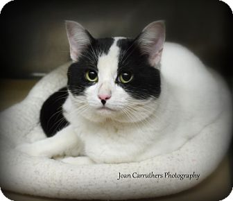 Domestic Shorthair Cat for adoption in Rye, New York - Denver