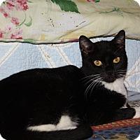 Domestic Mediumhair Cat for adoption in Brandon, Florida - Tibby