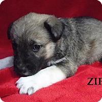 Adopt A Pet :: Zip - Batesville, AR