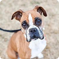 Adopt A Pet :: Sugar Pie - Salt Lake City, UT