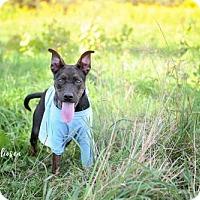 Adopt A Pet :: Pebbles - Keswick, ON