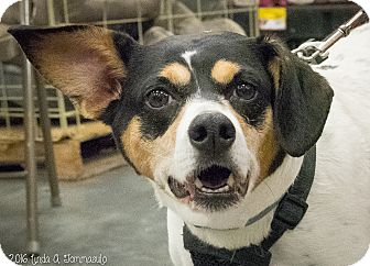 Jack Russell Terrier Mix Dog for adoption in Loudonville, New York - Ninja