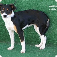 Adopt A Pet :: A087904 - Hanford, CA