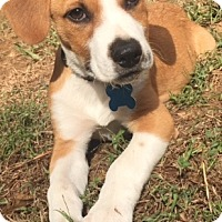 Hound (Unknown Type) Mix Puppy for adoption in Cary, North Carolina - Lance