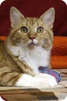 Domestic Shorthair Cat for adoption in South Bend, Indiana - Marmoset