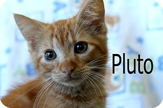 Domestic Shorthair Kitten for adoption in Wichita Falls, Texas - Pluto