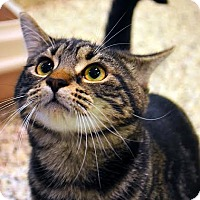 Domestic Shorthair Cat for adoption in Aiken, South Carolina - Renee