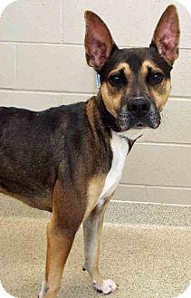 Shepherd (Unknown Type) Mix Dog for adoption in Shorewood, Illinois - Martin