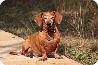 Dachshund Dog for adoption in San Antonio, Texas - Mango