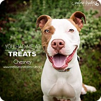 American Staffordshire Terrier Mix Dog for adoption in Mount Laurel, New Jersey - Chesney (FKA, Jack Spot)