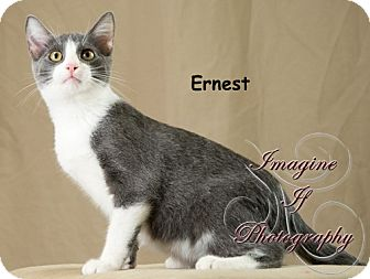 Domestic Shorthair Cat for adoption in Oklahoma City, Oklahoma - Earnest