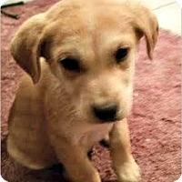 Redtick Coonhound/Siberian Husky Mix Puppy for adoption in Denver, Colorado - Quill
