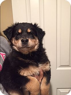 Bernese Mountain Dog/Spaniel (Unknown Type) Mix Puppy for adoption in Bridgewater, New Jersey - Moe
