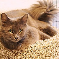 Domestic Mediumhair Cat for adoption in Victor, New York - Carmen
