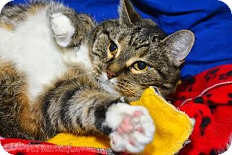 Domestic Shorthair Cat for adoption in Neenah, Wisconsin - Harley