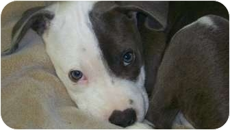 American Bulldog/Great Dane Mix Puppy for adoption in Shreveport, Louisiana - Axl