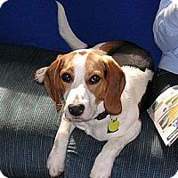 Adopt A Pet :: Wink - Novi, MI