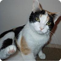 Calico Cat for adoption in O'Fallon, Missouri - Adrian