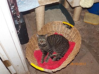 Domestic Shorthair Cat for adoption in Benton, Pennsylvania - Pisser