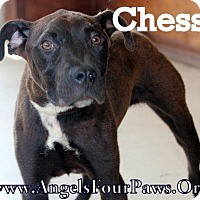 Adopt A Pet :: CHESS - Humble, TX