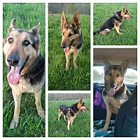 German Shepherd Dog Dog for adoption in Louisville, Kentucky - Saber
