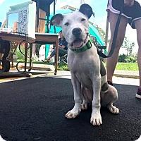 Adopt A Pet :: MayDay - Des Peres, MO