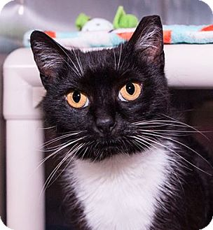 Domestic Shorthair Cat for adoption in Seville, Ohio - Lolita-SPONSORED