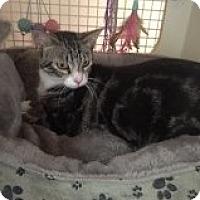 Adopt A Pet :: Mittens - Bridgeton, MO
