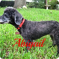 Poodle (Toy or Tea Cup) Dog for adoption in Maitland, Florida - Abigail