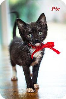 Domestic Shorthair Kitten for adoption in Los Angeles, California - Pie