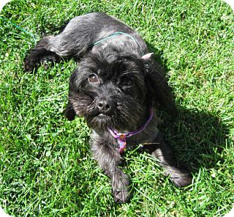Shih Tzu Mix Dog for adoption in South Bend, Indiana - Joy