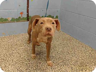 Pit Bull Terrier Mix Dog for adoption in San Bernardino, California - URGENT on 10/21 SAN BERNARDINO