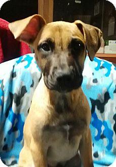 Boxer/Mountain Cur Mix Puppy for adoption in Burlington, Vermont - Topper