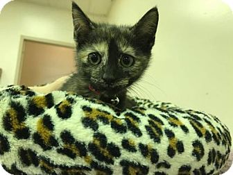Domestic Shorthair Kitten for adoption in Beckley, West Virginia - Thomasena