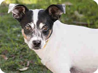 Chihuahua Mix Dog for adoption in Agoura, California - Daisy