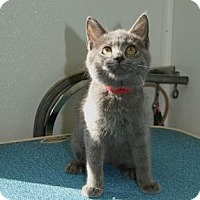 Russian Blue Kitten for adoption in Englewood, Florida - Heather Bleu