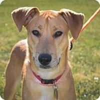 German Shepherd Dog/German Shorthaired Pointer Mix Dog for adoption in Wichita, Kansas - Duke
