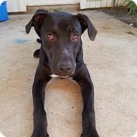 Adopt A Pet :: Dezi - Brattleboro, VT