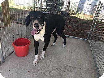 Great Dane Dog for adoption in Freeport, Florida - Hippo Dane