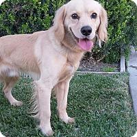 Adopt A Pet :: Rayban - Thousand Oaks, CA
