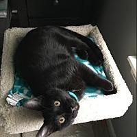 Adopt A Pet :: Odin - Chicago, IL