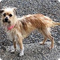 Adopt A Pet :: CHLOE (Auburn) LOVES DOGS & LAPS - Bainbridge Island, WA