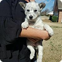 Adopt A Pet :: JoJo - Glastonbury, CT