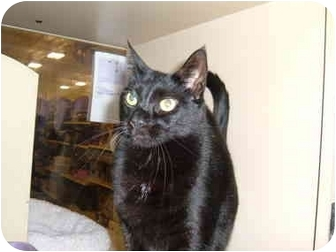 Domestic Shorthair Cat for adoption in No.Charleston, South Carolina - Sherlock