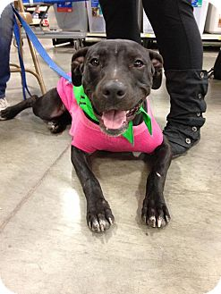 Labrador Retriever/Pit Bull Terrier Mix Dog for adoption in Bellingham, Washington - Ella