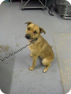 chow bulldog mix louise adopted dog 12 df038 fort benton mt 3104